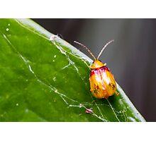 Red-shouldered Leaf Beetle - Monolepta australis Photographic Print