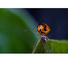 Red-shouldered Leaf Beetle - Monolepta australis (2) Photographic Print