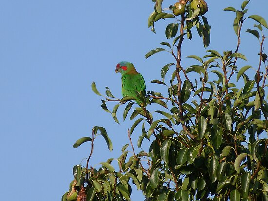 Lorikeet in my pear tree by Anne van Alkemade