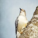 Red-Bellied Woodpecker ~ by Renee Blake
