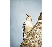 Red-Bellied Woodpecker ~ Photographic Print