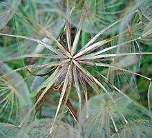 Yellow Goat's Beard Wildflower Seed Head - Tragopogon dubius by MotherNature