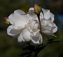 Iceberg Rose by zzsuzsa