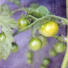 Green Tomatoes by Elizabeth Thomas