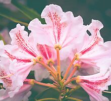 White Pink Azalea Flower by Elizabeth Thomas