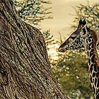 Young Giraffe by JKutchera