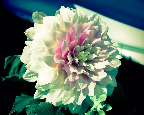 White and Pink Dahlia Flower by Elizabeth Thomas