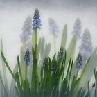 Muscari, grape hyacinths, blauwe druifjes, Traubenhyazinthe,Muscari en grappe  by Yool