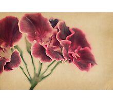 Geranium Frills Photographic Print