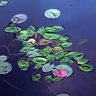 New Hampshire Lily Pads by BavosiPhotoArt