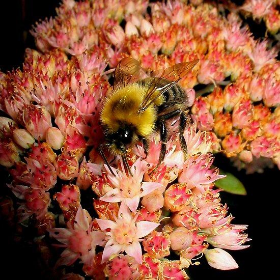 Bumble Bee On Sedum l by BavosiPhotoArt