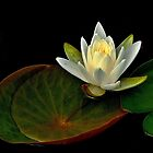 Pond Lily by BavosiPhotoArt