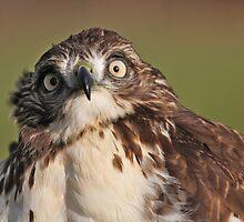 Derpy Hawk by Melissa Penta