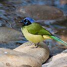 A Green Jay Considers Taking a Bath by Robert Kelch, M.D.