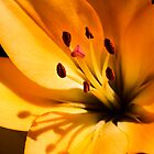 Orange Lily by srhayward