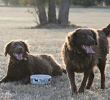 Curly Coated Retrievers by Diana-Lee Saville