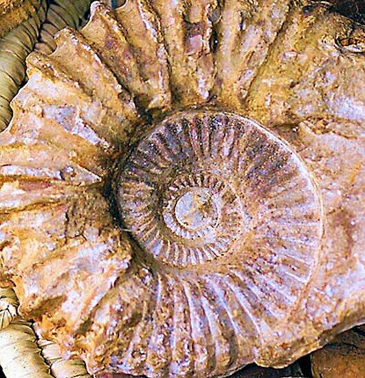 Ammonite fossil by designed2dazzle
