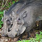 Warthog by Two (Phacochoerus africanus) by Deborah V Townsend