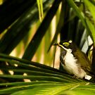 Blue Faced Honeyeater. by David Mellor