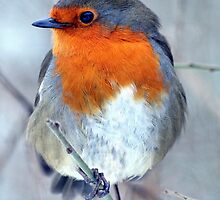 European Robin by larry flewers