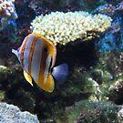 Copperband Butterfly fish by ienemien