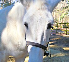 Elvira The White Mule by Dawne Dunton