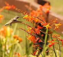 Hummingbird with Orange Flowers by ivypix