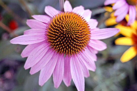Echinacea Flower by d1373l