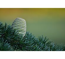 Himalayan Cedar Cone Evening Light Photographic Print