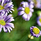 Purple Daisies in Field by James Iorfida
