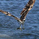 Osprey In Action! by DARRIN ALDRIDGE