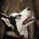Siberian huskies by mrivserg
