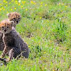 cheetah cubs by JKutchera