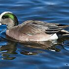American Wigeon Drake by John Williams