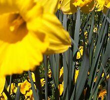 Dandelions by ThePaintedLady