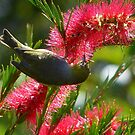 I Know It's In Here Somewhere!! - Silver-Eye On Bottle Brush - NZ by AndreaEL
