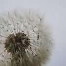 Blowing on Dandelion Seed  by vivendulies