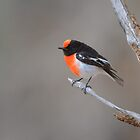 Red capped Robin  Flinders Ranges SA  by helmutk