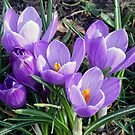Crocus by Lynn Bolt
