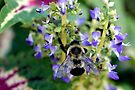 Bumble Bee on a Violet by Gene Walls