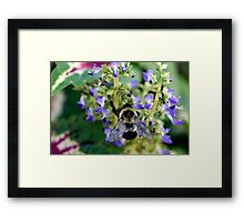 Bumble Bee on a Violet Framed Print