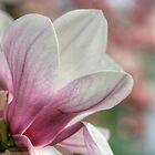 Magnolia Blossom II by Gene Walls