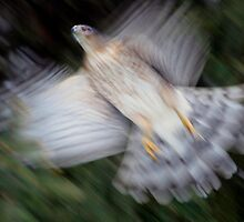 Hawk In Pursuit  by Gene Walls
