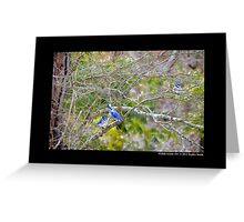 Cyanocitta Cristata - North American Blue Jays Greeting Card