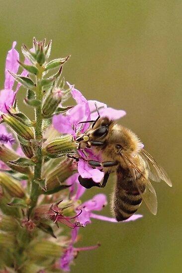 Honey Bee On Flower ll by BavosiPhotoArt