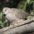 Inca Dove by Kimberly P-Chadwick