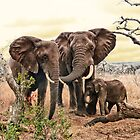 Elephants of Africa by Vinchenso