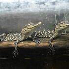 baby alligators by Rebecca Koller