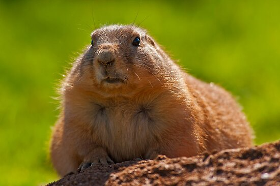 Little fluffy prairie dog by Konstantinos Arvanitopoulos