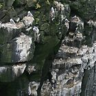 Kittiwakes nesting on Iceland rockface by Grace Johnson